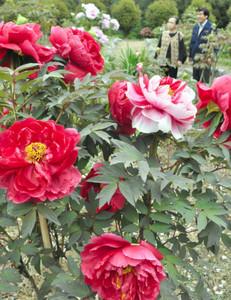開花が始まったぼたん苑=袋井市久能の可睡斎で