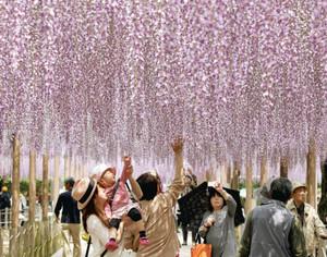 淡い紫色の花から甘い香りを漂わせるフジ=江南市の曼陀羅寺公園で