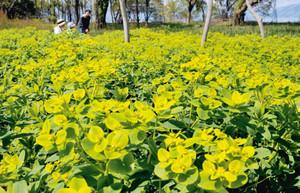 見頃を迎え、湖岸を黄色いじゅうたんのように彩るノウルシ=滋賀県高島市新旭町で