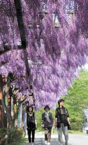 風にそよぐフジの花を楽しむ人たち=豊田市御作町のふじの回廊で