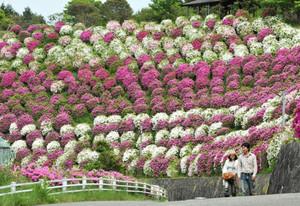 園内を色鮮やかに染める満開のツツジ=湖南市の雨山文化運動公園で