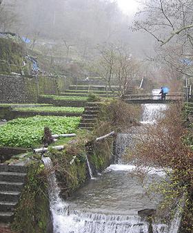 天城山の湧き水で育つ筏場のわさび田