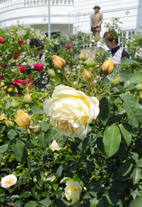 今年も色とりどりのバラが来場者を待つ=恵那市明智町の日本大正村・大正ロマン館前で