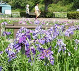 青紫色の花をつけたハナショウブが来場者を楽しませているあやめまつり=安曇野市明科のあやめ公園で