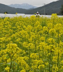 乗鞍岳や槍ケ岳を背景に咲き誇るキカラシ=高山市一之宮町で