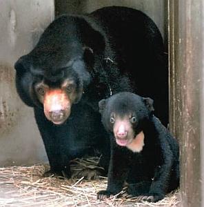マレーグマの赤ちゃんのマーチン(右)と母親のマー子=東山動物園提供