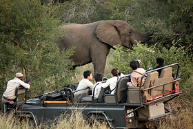 ブッシュから現れた象。鼻を枝に巻きつけへし折った=南アフリカ・クルーガー国立公園で