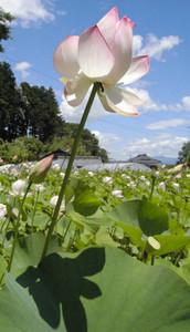 梅雨明けの夏空に映えるインドハスの花=塩尻市洗馬小曽部の興龍寺で
