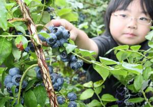 ブルーベリーの収穫体験でみずみずしい実に手を伸ばす子ども=富士市大淵で
