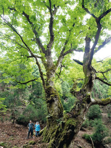 県内最大のトチノキ=高島市朽木雲洞谷の山中で