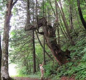 有明山麓で奇怪な樹形を見せる「あがりこ」