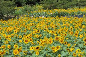 強い日ざしのなか、大輪の花を咲かせるヒマワリ=上田市平井で
