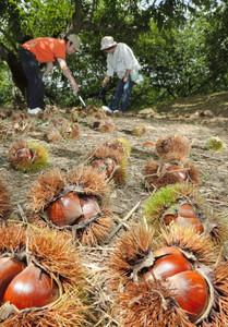 クリ拾いを楽しむ人たち=中津川市苗木のいが栗の里で