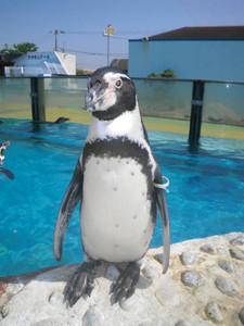 フンボルトペンギンの「テト」。仲間たちと5羽で女子ゴルフの「マンシングレディース」会場に出張する=美浜町奥田で(南知多ビーチランド提供)