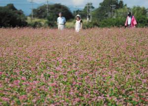 畑一面に咲き乱れる赤ソバ「高嶺ルビー」=中川村片桐で