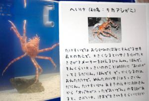三河弁でタカアシガニを紹介する解説ボード=蒲郡市竹島水族館で