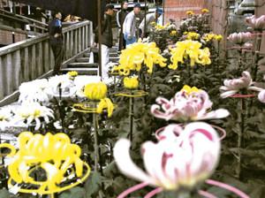 力作が並ぶキクの鉢植え展=近江八幡市宮内町の日牟礼八幡宮で