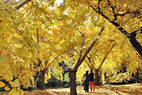 祖父江町を黄金色に染めるイチョウ並木