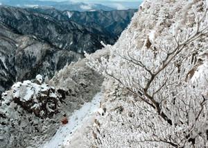 山頂付近の木々にできた樹氷=菰野町の御在所岳で(御在所ロープウエイ提供)