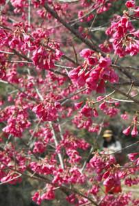 遊歩道をピンク色に染めるカンヒザクラ=熊野市木本町で