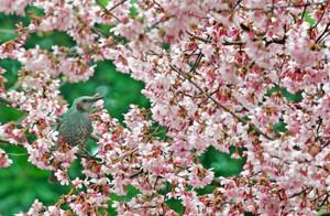 花見を楽しむかのように、満開のオカメザクラの枝に止まるヒヨドリ=坂井市の県総合グリーンセンターで