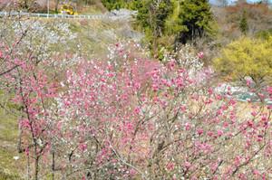 色とりどりに咲くハナモモ=阿智村駒場で