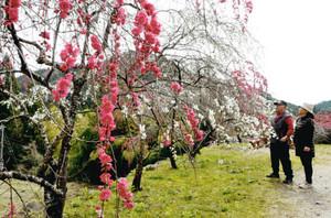 今年も開花して美しい花を咲かせたしだれ桃。水没までは生き延びることになった=設楽町川向で