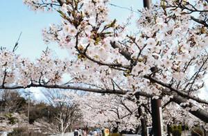 満開に咲き誇る城山公園の桜=長野市箱清水の城山公園で