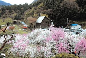 山あいを走る越美北線沿線を美しく彩るハナモモ=大野市西勝原で