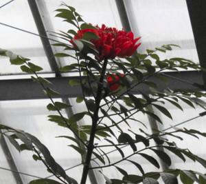 美しい赤い花を咲かせるカエンボク=県中央植物園で