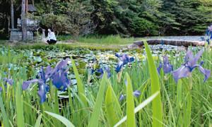 青紫の花と緑葉の対比が目を引くカキツバタ=瑞浪市日吉町の弁財天の池で