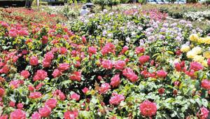 色とりどりの花を咲かせるバラ=彦根市開出今町の庄堺公園で