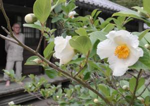 真っ白な花びらが目を引く沙羅の花=多賀町の高源寺で