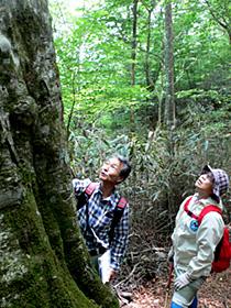 そびえ立つツガの木(左)。樹齢300年級の大木があちこちに点在する