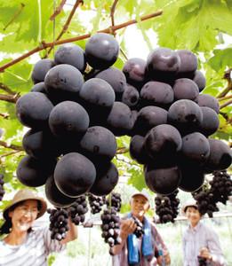 甘い香りを漂わせる夏の味覚「ピオーネ」=18日、浜松市北区滝沢町で