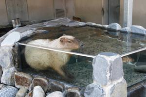 水に漬かるカピバラ=能美市のいしかわ動物園で