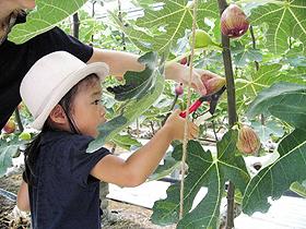 イチジクの収穫体験は10月中旬まで楽しめる=浜松市のはままつフルーツパーク時之栖で