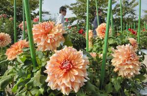 秋晴れの空の下で色鮮やかな大輪を咲かすダリア=日野町の日野ダリア園で
