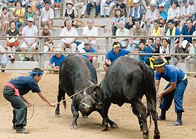 巨体がぶつかり合い迫力満点の「牛突き」=島根県隠岐の島町で
