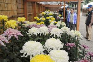 白や黄色の大輪の花が市民を楽しませている菊花展=近江八幡市友定町の八坂神社で
