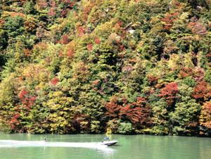 羽衣崎一帯の紅葉を背景にダム湖を疾走するモーターボートと水上スキー=天龍村平岡で