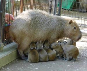カピバラ華の乳を飲む六つ子=須坂市動物園提供