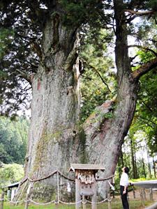 推定樹齢1800年の「月瀬の大杉」