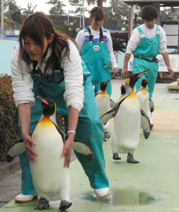 飼育係に連れられ歩く5羽のキングペンギン=美浜町奥田の南知多ビーチランドで