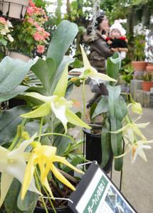 見ごろを迎えているランの一種「アングレカム・セスキペダーレ」=県中央植物園で