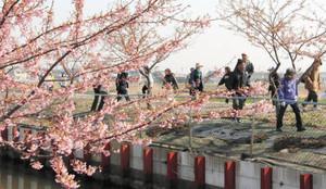 河津桜の咲く川沿いを散策する参加者たち=松阪市で