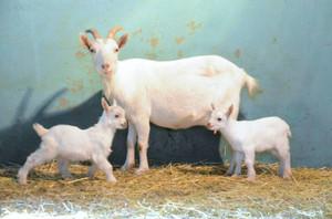 母「コハク」と今月上旬に生まれた双子のヤギ=四日市市波木町の南部丘陵公園で