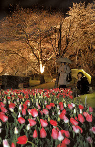 小雨が降り、傘の花も咲く中で始まった夜桜のライトアップ=浜松市西区のはままつフラワーパークで