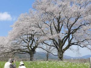 寄り添い立つエドヒガン種の「夫婦桜」=高島市今津町深清水で