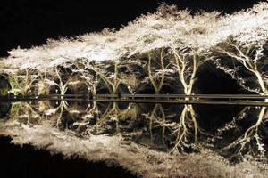 満開となり幻想的な世界をつくり出す八坂湖畔桜=下呂市金山町岩瀬で